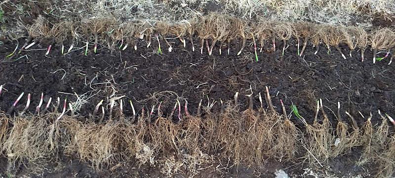 Seiersløk klare for planting